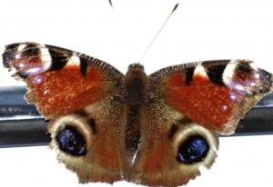"""Papillon """"paon de jour"""""""