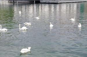 Le lac et les cygnes